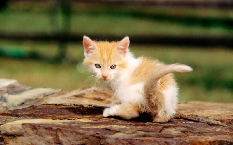 绿草上的可爱小猫咪宽 毛绒可爱猫宝宝写真 可爱小猫咪桌面壁纸 街角