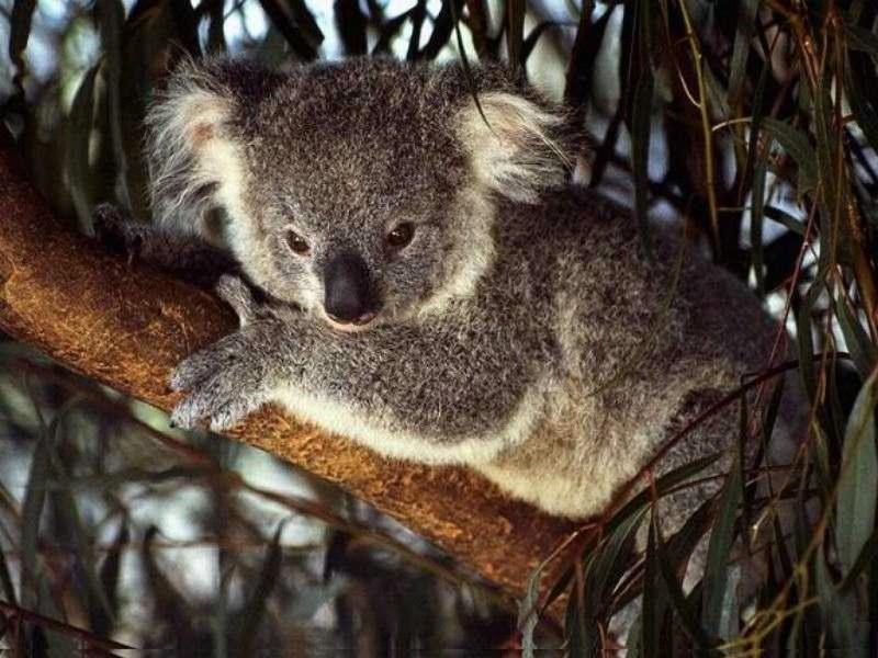 澳大利亚 考拉壁纸 澳大利亚 考拉壁纸图片 动物壁纸