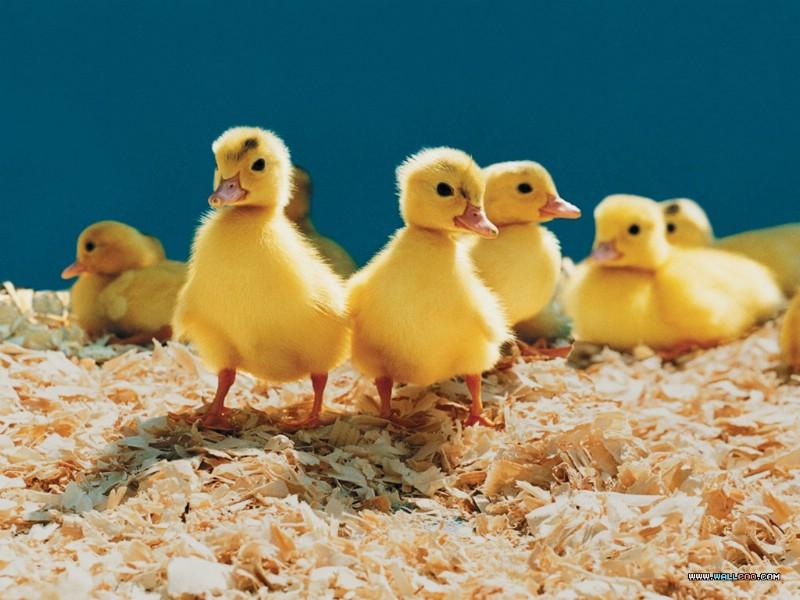 可爱小鸭子图片 _网络排行榜