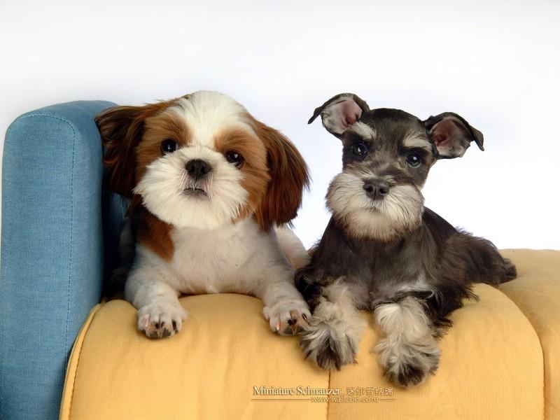 宠物狗狗-迷你雪纳瑞壁纸图片-动物壁纸-动物图片素材-桌面壁纸