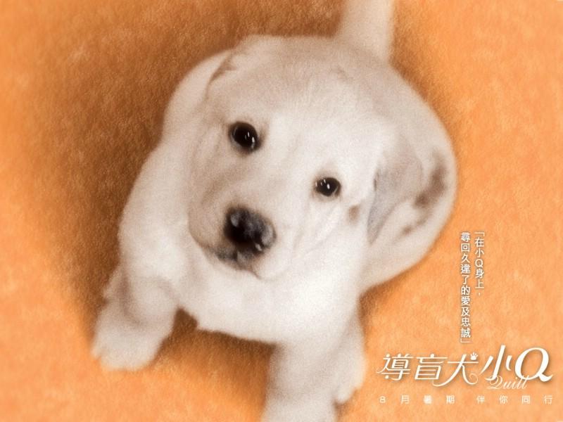 导盲犬小q壁纸,导盲犬小q壁纸图片-动物壁纸-动物图片
