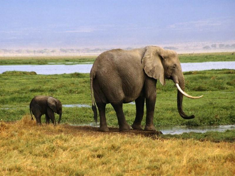 大象 陆地上的老大壁纸,大象,陆地上的老大!壁纸