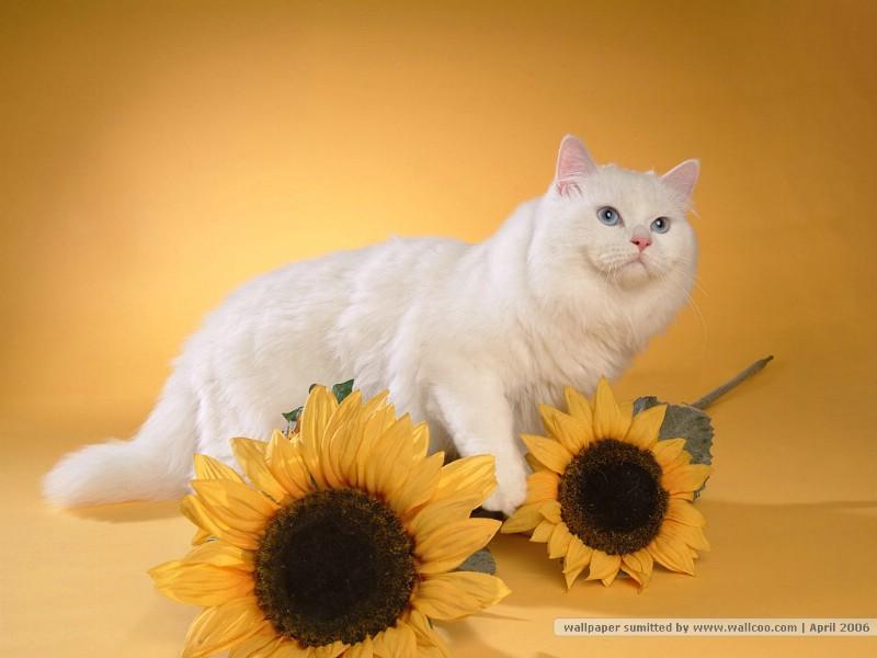 家有宠物波斯猫壁纸图片 家有宠物波斯猫壁纸素材 动物壁纸 动物图库