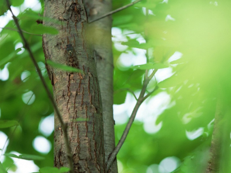 柘树介绍,柘树特征及园林用途 - 园林景观植物库
