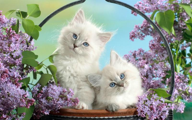 篮子里的小白猫   趣味猫咪壁纸,动物壁纸,可爱搞笑动物壁纸,动物表情