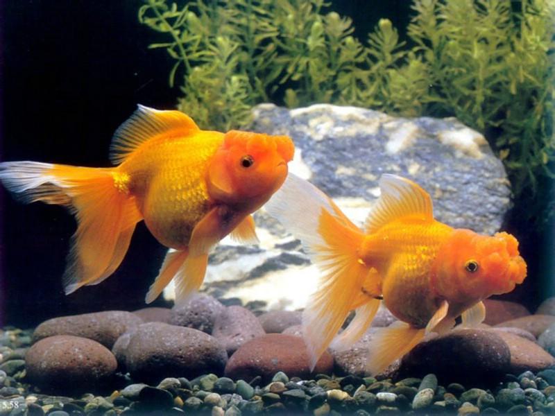 金鱼壁纸,金鱼壁纸图片-动物壁纸-动物图片素材-桌面壁纸