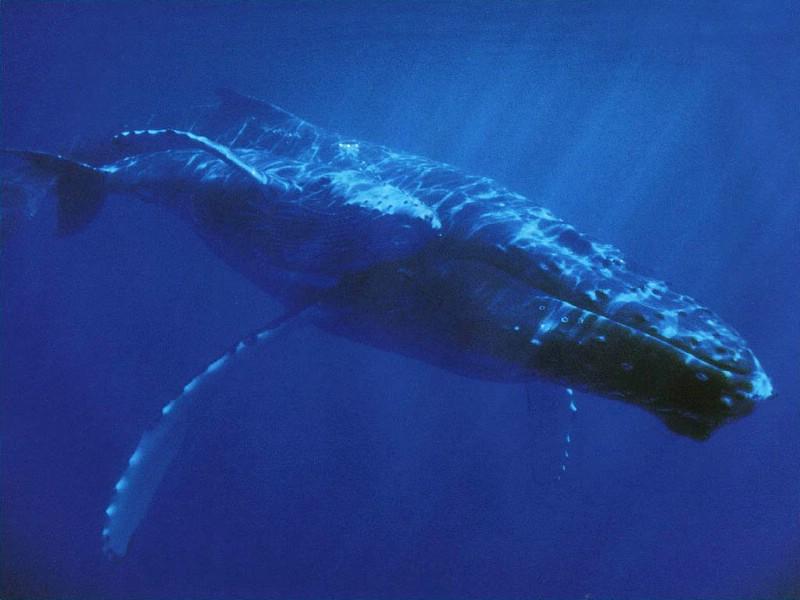 鲸鱼壁纸壁纸图片-动物壁纸-动物图片素材-桌面壁纸