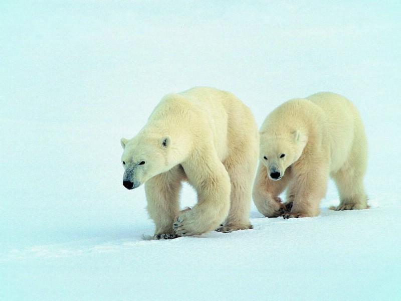 可爱北极熊 壁纸11壁纸,可爱北极熊壁纸图片-动物壁纸-动物图片素材