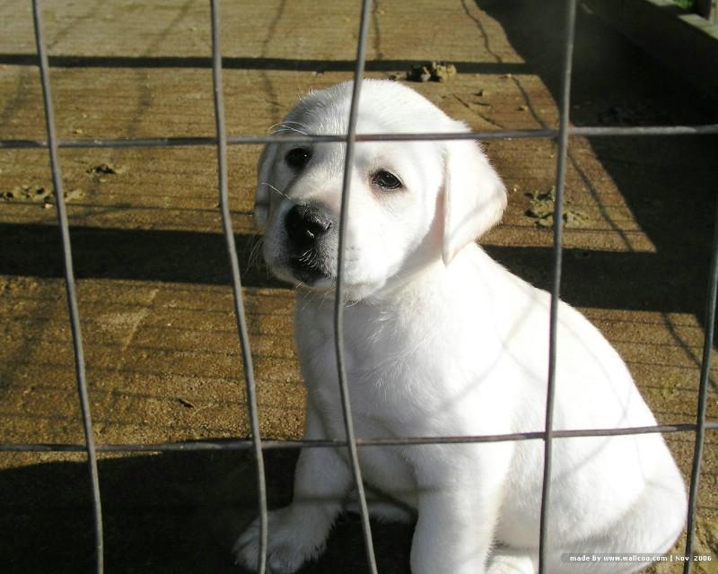 可爱拉布拉多寻回犬壁素材 动物壁纸 动物图库 动物图片素材桌面壁纸