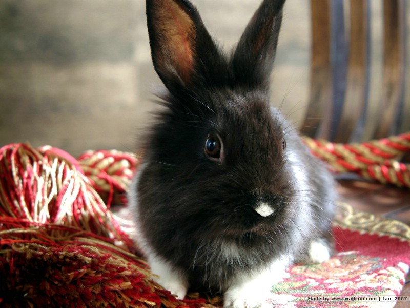 可爱兔子 小灰兔 黑白兔子图片摄影