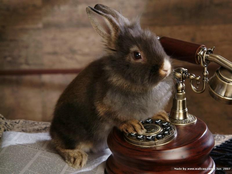 可爱兔子 小灰兔 灰色兔子图片摄影