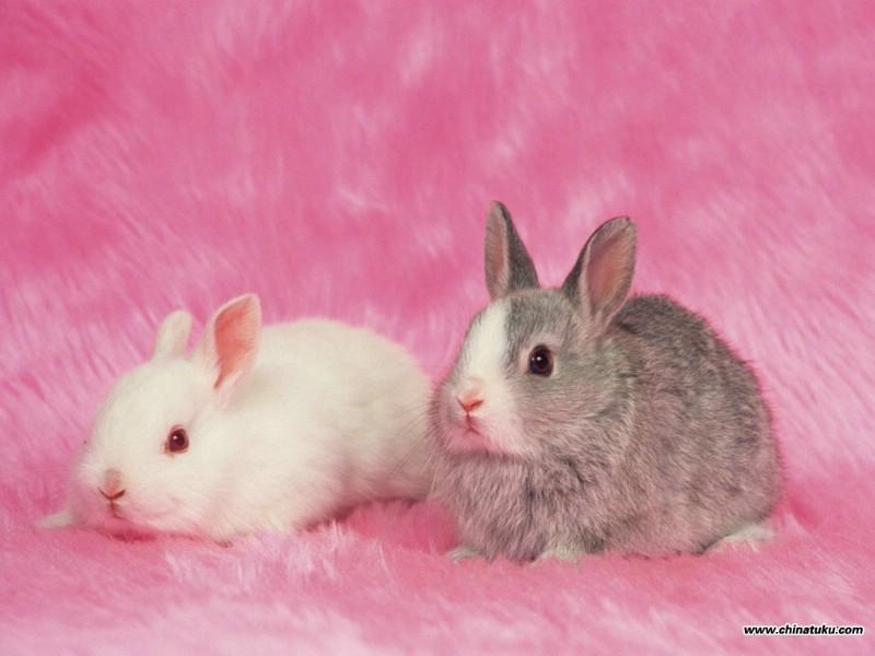 可爱兔子壁纸 可爱兔子壁纸 可爱兔子图片 可爱兔子素材 动物壁纸