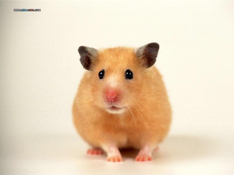 手机壁纸动物仓鼠