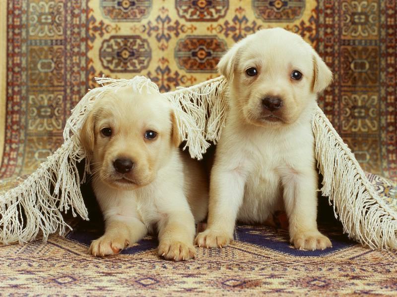 【图片素材】可爱的狗狗桌面背景