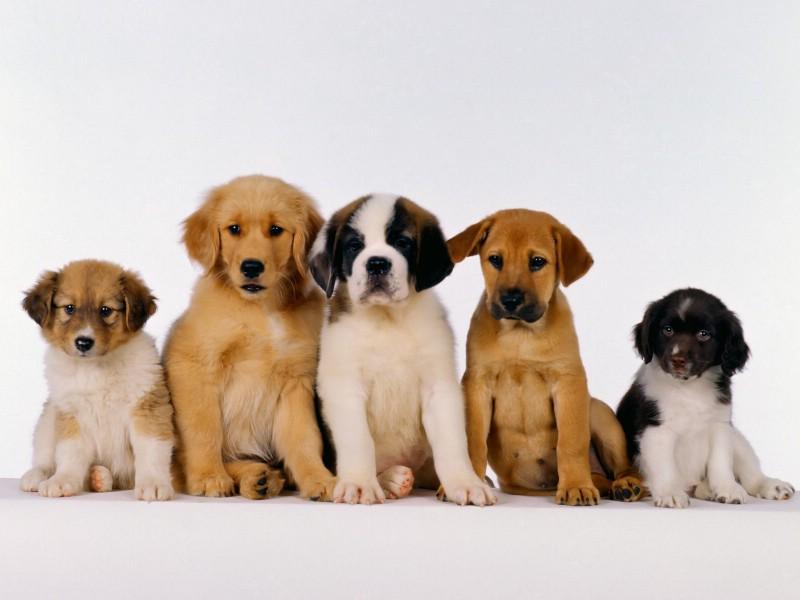 可爱小狗桌面壁纸下载