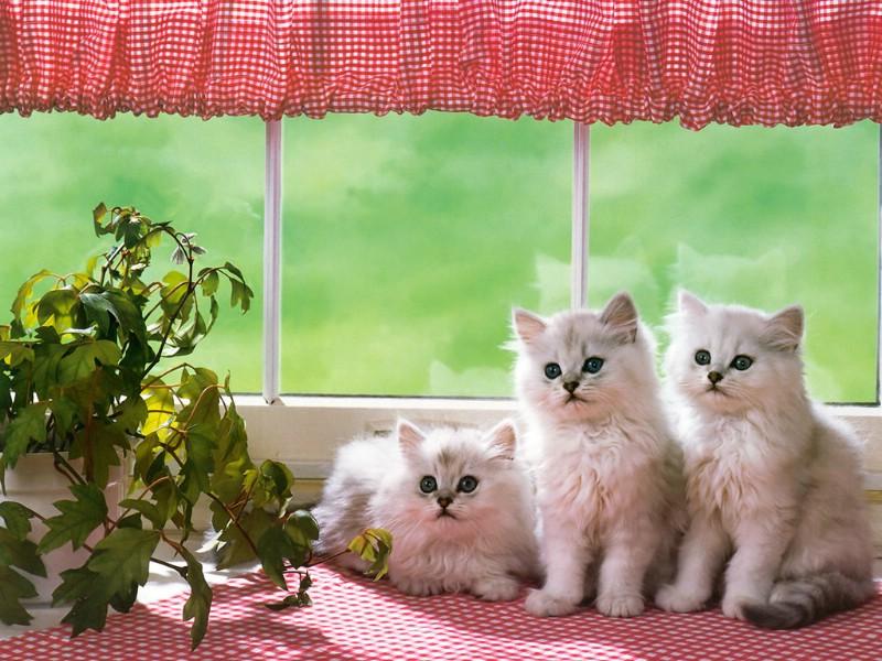 超可爱的三只小白猫