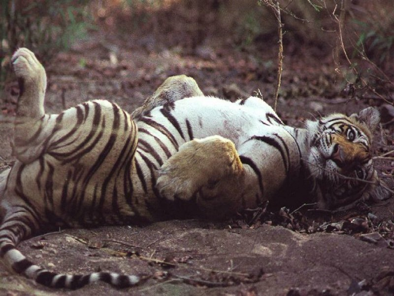 老虎专辑壁纸,老虎壁纸壁纸图片-动物壁纸-动物图片