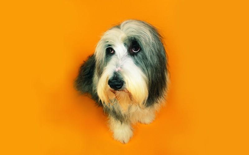 无辜表情 趣味可爱狗狗图片壁纸