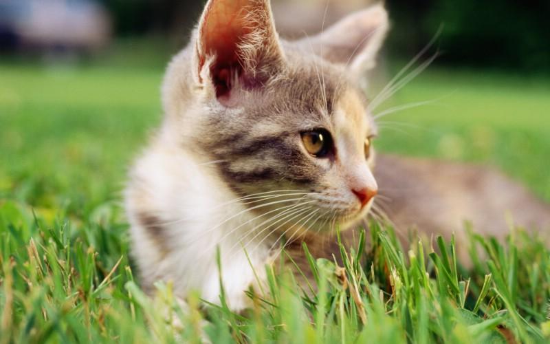 毛绒可爱猫宝宝写真 精灵可爱小猫咪壁纸