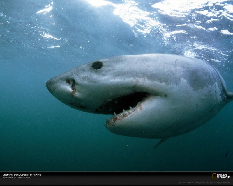 Gansbaai South Africa  city photo : 壁纸集 大白鲨图片 Great White Shark Gansbaai South Africa ...