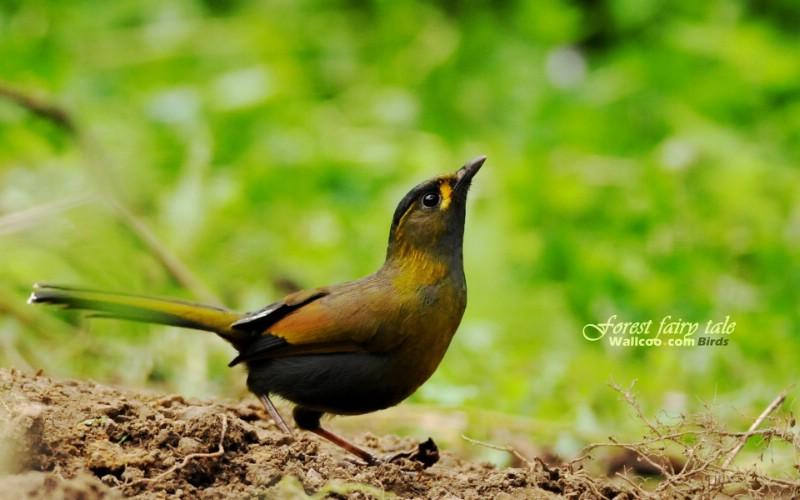 树林里的小精灵 春天可爱小鸟壁纸 薮鸟 黄胸薮