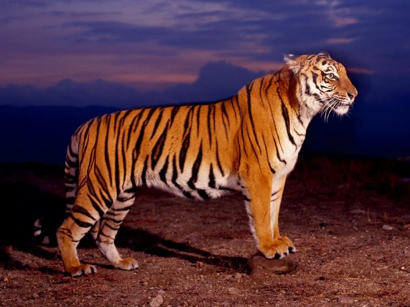 老虎皮到底是谁
