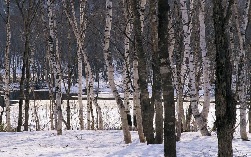 冬天雪景壁纸 白雪覆盖的树木图片