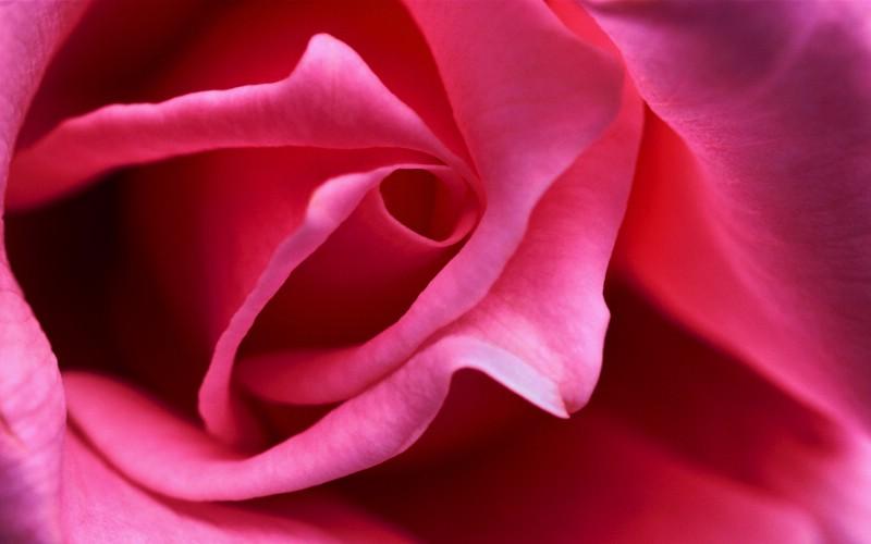大自然纯朴之美 粉色玫瑰花微距壁纸图片壁纸壁纸 大自然纯朴之美壁纸 大自然纯朴之美图片 大自然纯朴之美素材 风景壁纸 风景图库 风景图片素材桌面壁纸