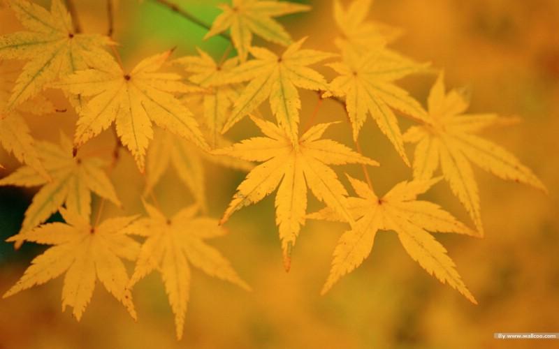 壁纸 金色的枫叶 金色秋天摄影壁纸