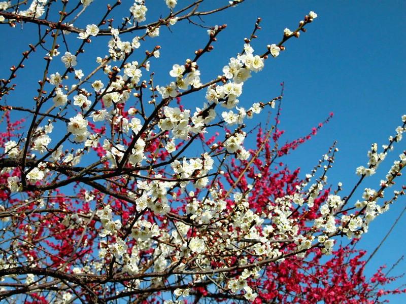 梅花与田园的约定【原创诗】 - 高天流云 - 高天流云的博客