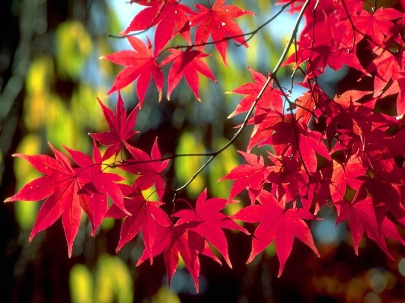 秋天风景图片枫叶水粉画_秋天唯美枫叶图片