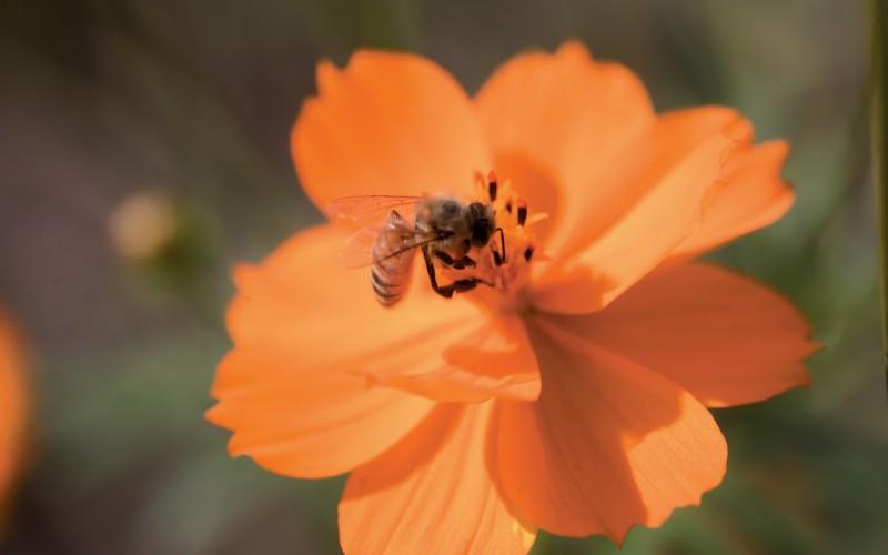 6种尺寸 蜜蜂采花蜜壁纸 Professional flower photography壁纸 韩国花卉摄影集壁纸 韩国花卉摄影集图片 韩国花卉摄影集素材 花卉壁纸 花卉图库 花卉图片素材桌面壁纸