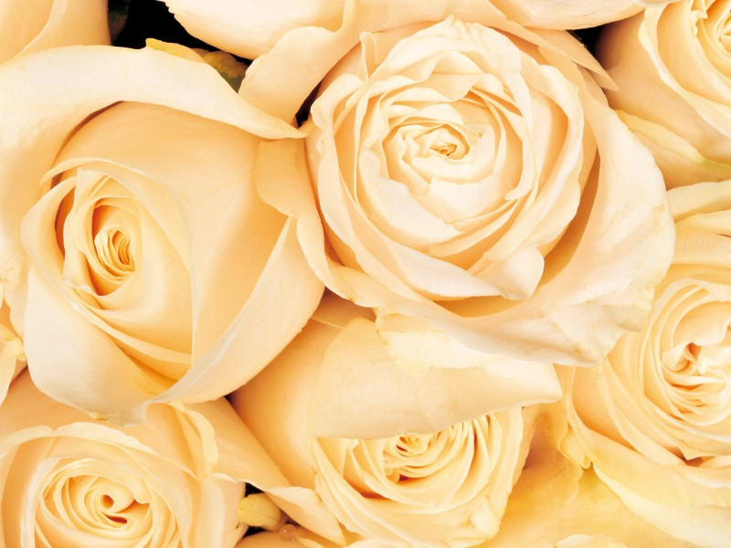 玫瑰写真 5 2壁纸 玫瑰写真壁纸 玫瑰写真图片 玫瑰写真素材 花卉壁纸 花卉图库 花卉图片素材桌面壁纸