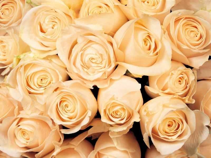 玫瑰写真 5 1壁纸 玫瑰写真壁纸 玫瑰写真图片 玫瑰写真素材 花卉壁纸 花卉图库 花卉图片素材桌面壁纸