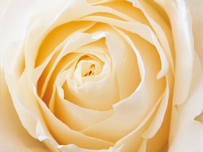 玫瑰写真 6 18壁纸 玫瑰写真壁纸 玫瑰写真图片 玫瑰写真素材 花卉壁纸 花卉图库 花卉图片素材桌面壁纸