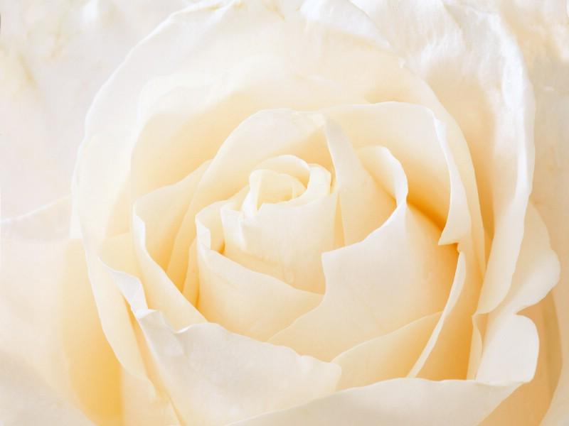 玫瑰写真 6 17壁纸 玫瑰写真壁纸 玫瑰写真图片 玫瑰写真素材 花卉壁纸 花卉图库 花卉图片素材桌面壁纸
