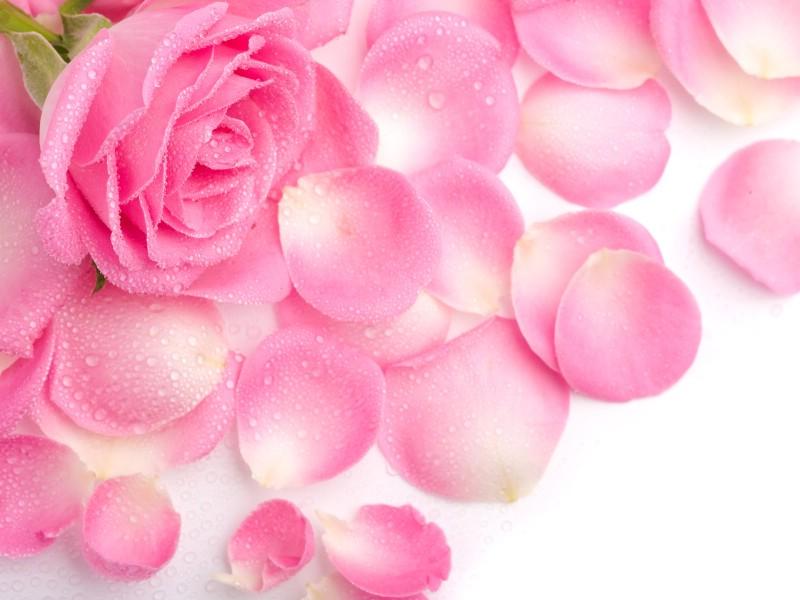 玫瑰写真 6 6壁纸 玫瑰写真壁纸 玫瑰写真图片 玫瑰写真素材 花卉壁纸 花卉图库 花卉图片素材桌面壁纸