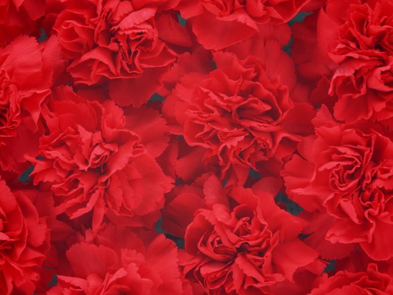母亲节康乃馨 2 12壁纸 母亲节康乃馨壁纸 母亲节康乃馨图片 母亲节康乃馨素材 花卉壁纸 花卉图库 花卉图片素材桌面壁纸