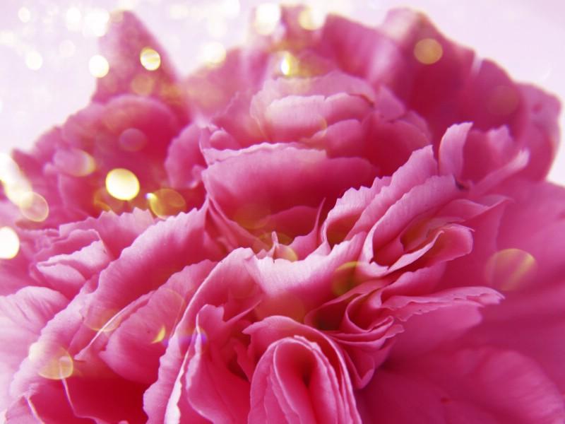 母亲节康乃馨 2 11壁纸 母亲节康乃馨壁纸 母亲节康乃馨图片 母亲节康乃馨素材 花卉壁纸 花卉图库 花卉图片素材桌面壁纸