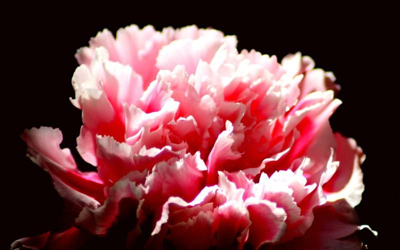 献给天下母亲的花 康乃馨