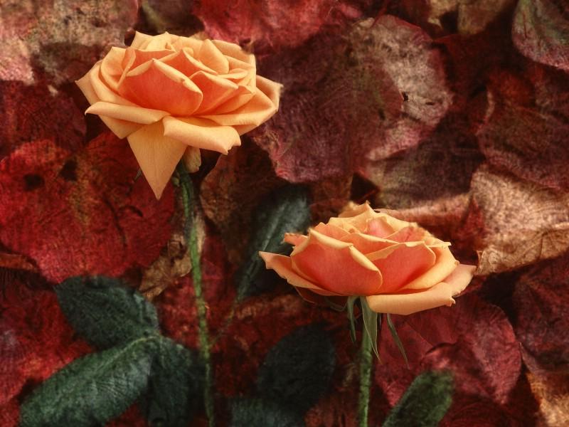 鲜花特写 12 15壁纸 鲜花特写壁纸 鲜花特写图片 鲜花特写素材 花卉壁纸 花卉图库 花卉图片素材桌面壁纸