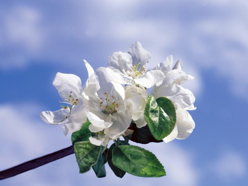 白色花朵 1 13壁纸 鲜花特写 白色花朵 第一辑壁纸 鲜花特写 白色花朵 第一辑图片 鲜花特写 白色花朵 第一辑素材 花卉壁纸 花卉图库 花卉图片素材桌面壁纸
