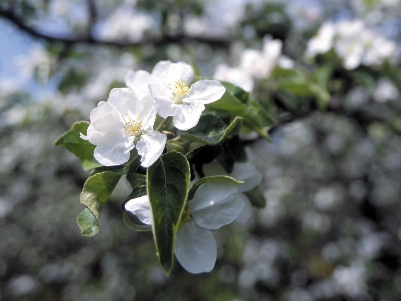 白色花朵 1 10壁纸 鲜花特写 白色花朵 第一辑壁纸 鲜花特写 白色花朵 第一辑图片 鲜花特写 白色花朵 第一辑素材 花卉壁纸 花卉图库 花卉图片素材桌面壁纸