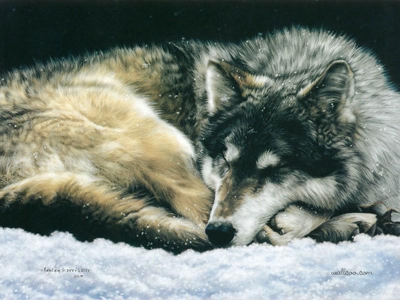 harrison彩色铅笔画超写实动物系列