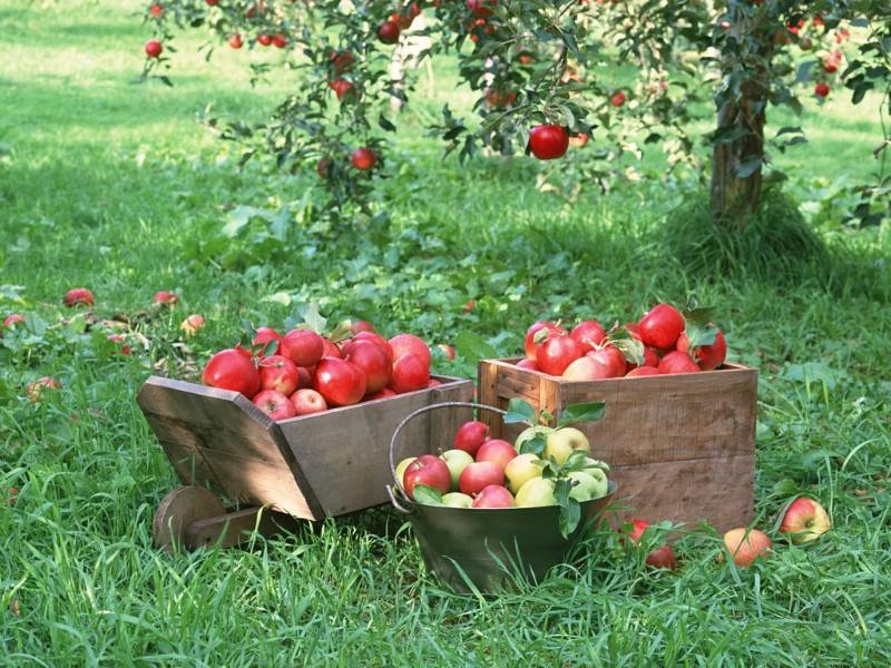 苹果 壁纸/硕果累累 苹果篇 苹果图片 苹果壁纸 Stock Pho