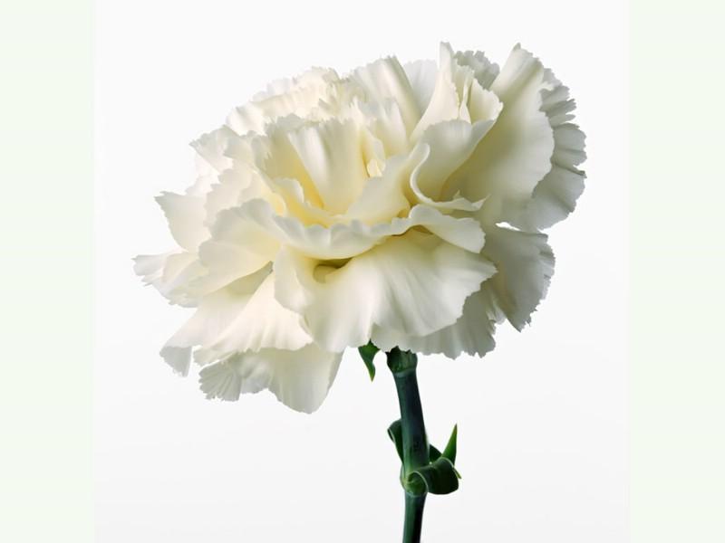 简笔画花朵康乃馨内容图片展示