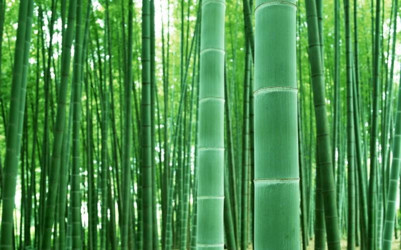绿色竹情壁纸壁纸 绿色竹情壁纸壁纸 绿色竹情壁纸图片 绿色竹情壁纸素材 植物壁纸 植物图库 植物图片素材桌面壁纸