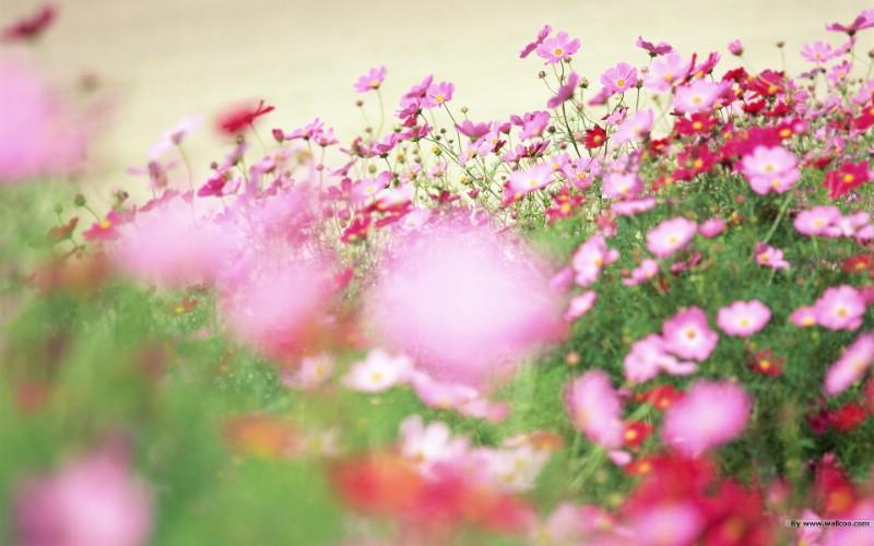 野花烂漫 清新风格花卉摄影壁纸壁纸 野花烂漫 清新风格花卉摄影壁纸壁纸 野花烂漫 清新风格花卉摄影壁纸图片 野花烂漫 清新风格花卉摄影壁纸素材 植物壁纸 植物图库 植物图片素材桌面壁纸